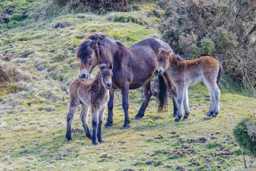 Exmoor pony and foals