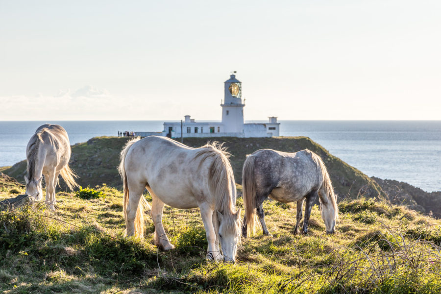 Welsh mountain ponies grazing at Strumble Head