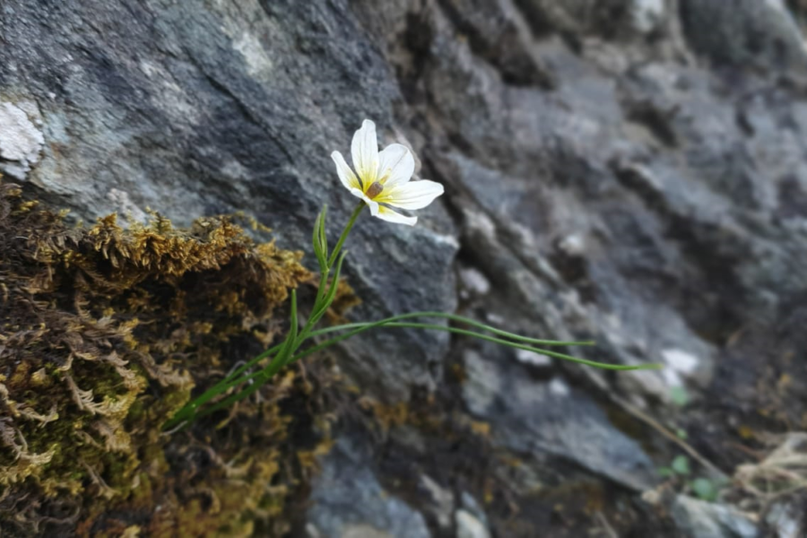 Lili'r Wyddfa is the rarest plant in Snowdonia